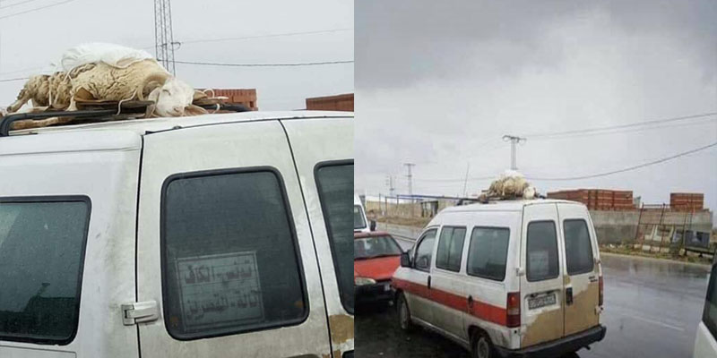 صورة اليوم: علوش العيد فوق لواج في اتجاه الكاف