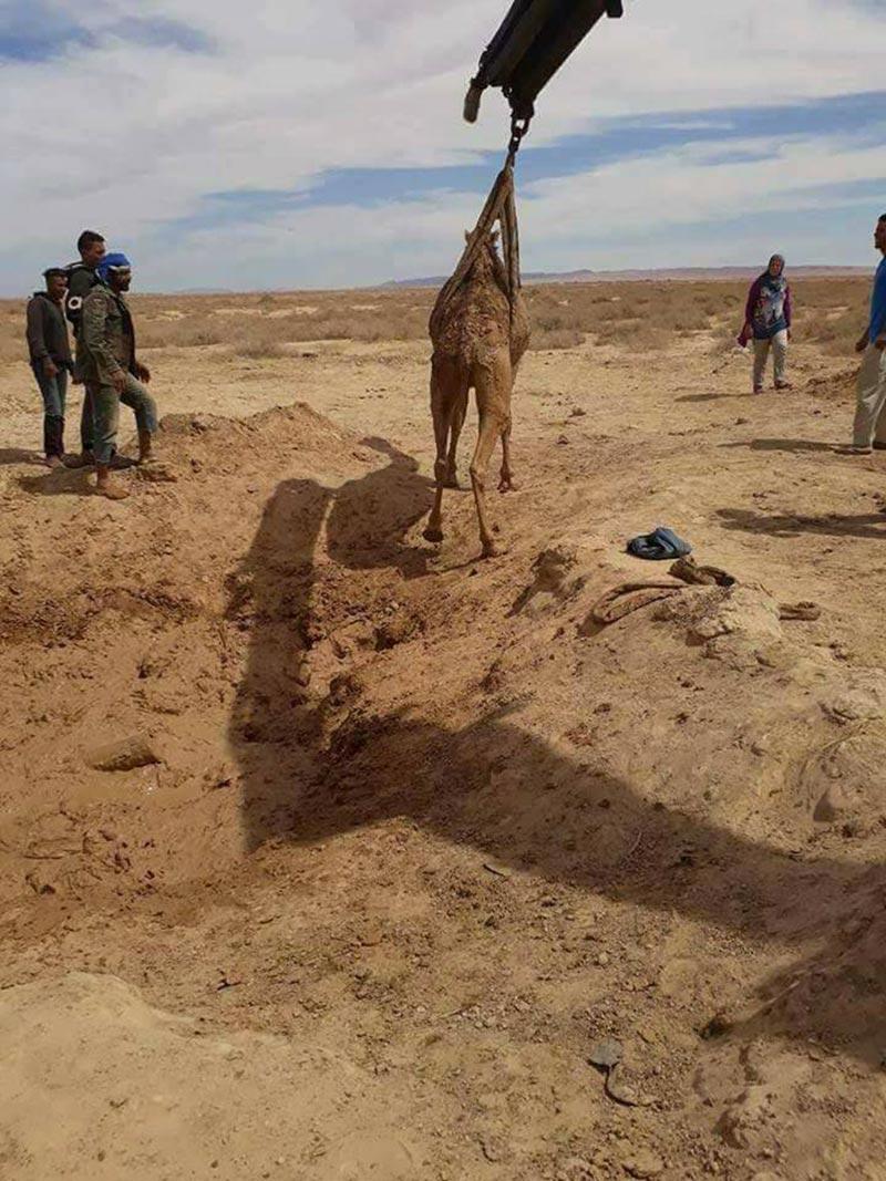توزر: الحماية المدنية تنتشل جمل علق بالأوحال بطريق تمغزة