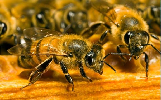 L'Ariana 'Municipalité amie des abeilles'