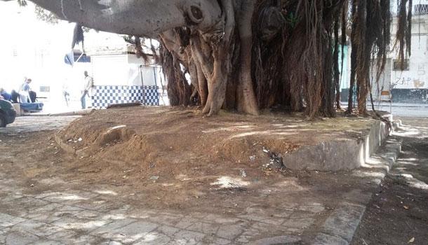 En photos:Les deux arbres centenaires de la Place de la Monnaie, à Tunis, débarrassés des ordures