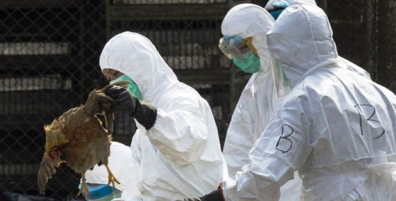Après le coronavirus, la Chine fait aussi face à une grippe aviaire