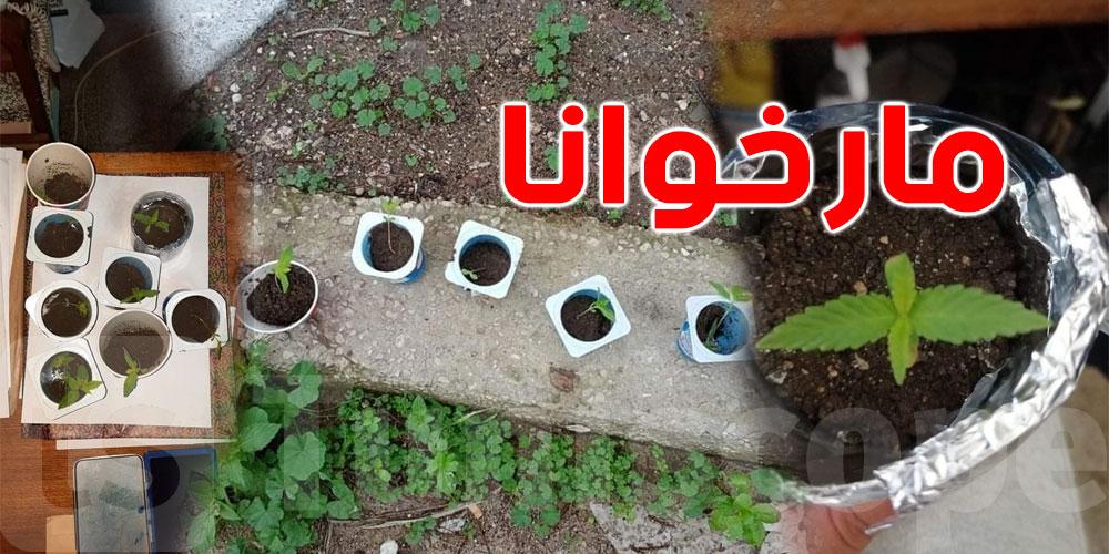 صور من باجة ..يزرع المارخوانا في علب '''ياغورت''