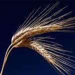 Tunisie : Baisse de la récolte céréalière de 30 à 50%