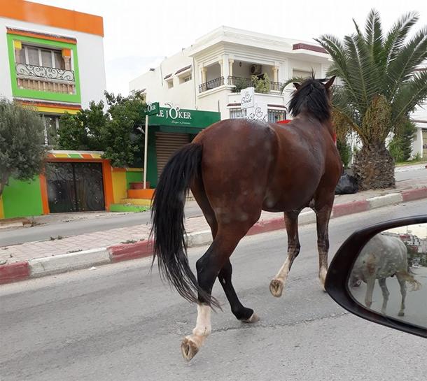 En photos : Des chevaux en promenade dans les rues d'Ennasr