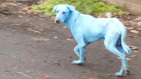 كلاب زرقاء تظهر في الهند