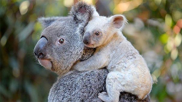 أستراليا تبحث عن اسم ل''كوالا بيضاء'' نادرة
