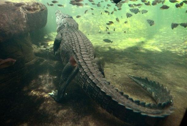 كانت تسبح رفقة صديقتها: تمساح يلتهم امرأة في استراليا