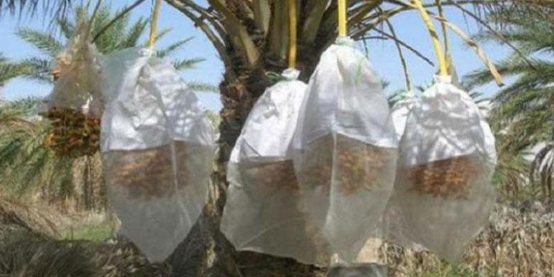 2,2 millions de moustiquaires pour la protection des régimes de dattes à Kébili