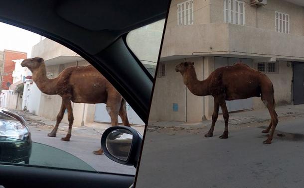 En photos : Un dromadaire en balade dans les rues de Bizerte