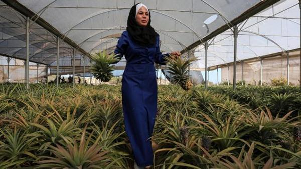 Les habitants de la bande de Gaza récoltent leurs premiers ananas