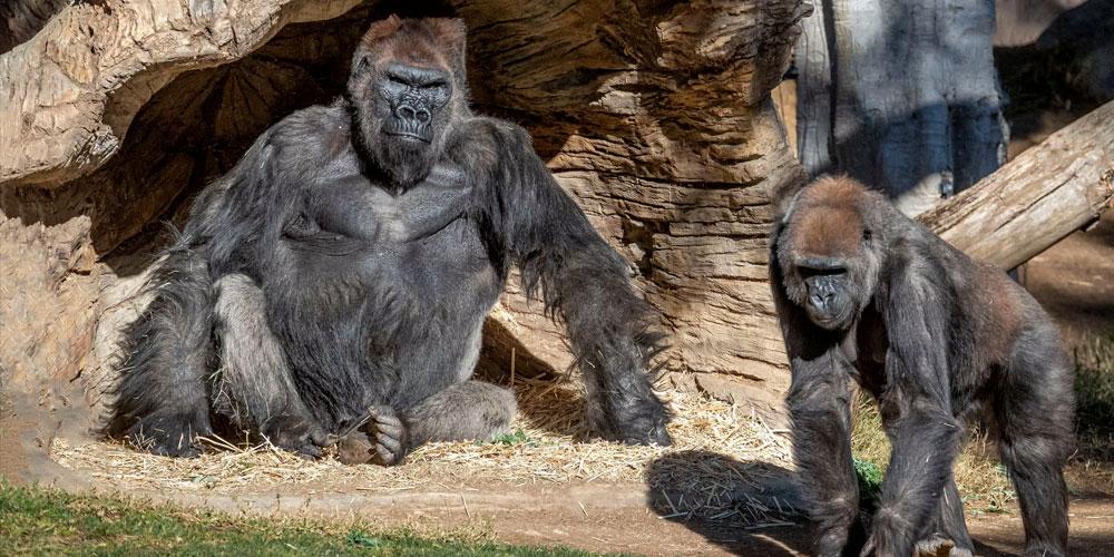 Etats-Unis: deux gorilles du zoo de San Diego positifs au coronavirus