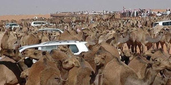 بالفيديو: السعودية تطرد الجمال والأغنام القطرية