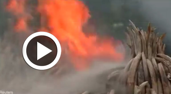 فيديو..كينيا تحرق أكثر من 100 طن من العاج الثمين