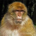 Sakiet Sidi Youssef : Le singe a été abattu