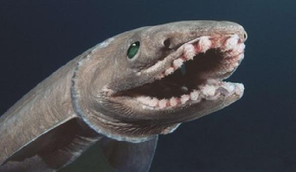 Un requin-monstre à 300 dents découvert au Portugal