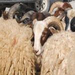 62% des Tunisiens tiennent à acheter le mouton de l'Aïd malgré les prix qui s'envolent !