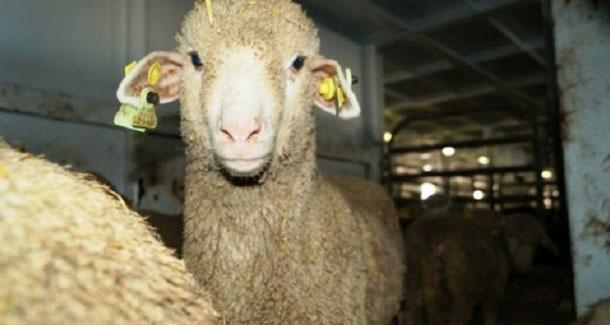 Voici les prix des moutons de l'Aïd dans les points de vente à la Manouba