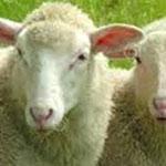 Vers l'importation de 8000 moutons espagnols pour l'Aïd