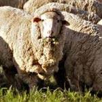 Vol de moutons : Un agriculteur blessé par balles à Kairouan