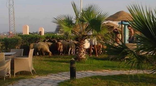 Photo du jour : Faute de touristes, les moutons prennent la place dans les hôtels
