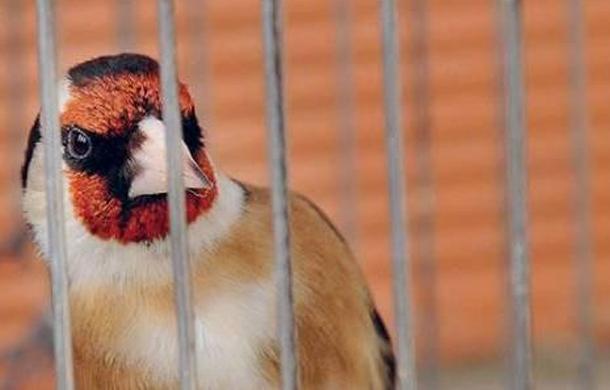RFI : L'amour pour les oiseaux chanteurs en Tunisie, une menace pour certaines espèces…