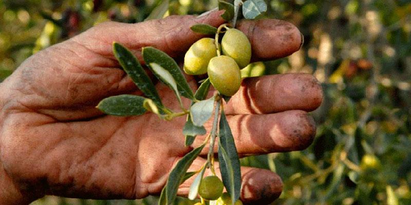 Un ouvrier agricole meurt en tombant pendant la cueillette des olives
