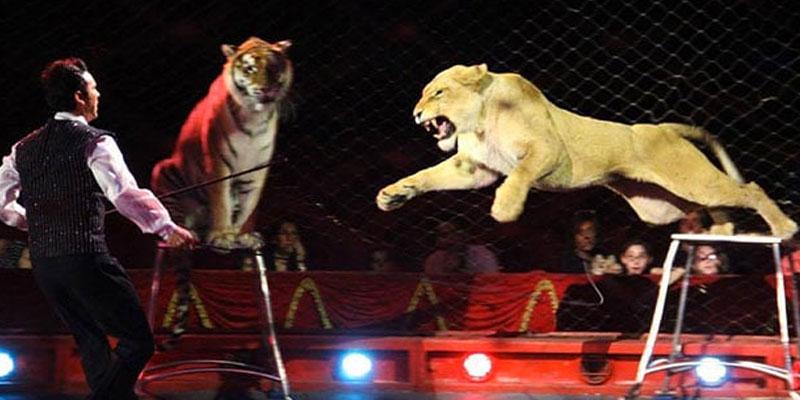 4 tigres tuent le dompteur du 'Circo Orfei'