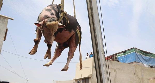 بالصّور : باكستاني يستعين برافعة لإنزال الأضاحي من سطح منزله