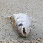 La plage de Lamta couverte par une grande quantité de poissons morts ce matin