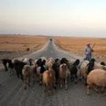 جندوبة الشمالية: الأهالي يقطعون الطريق بماشيتهم