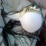 Un poisson venimeux dans les eaux de Salakta