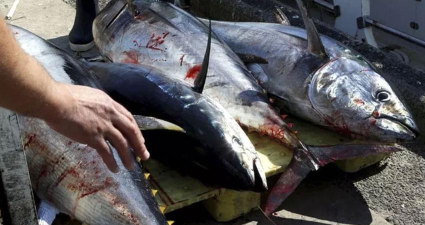 حجز 1.2 طن من سمك التن الأحمر  بسواحل صفاقس