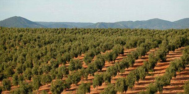 38% des oliveraies en situation ''critique'' à Sidi Bouzid, selon le CRDA