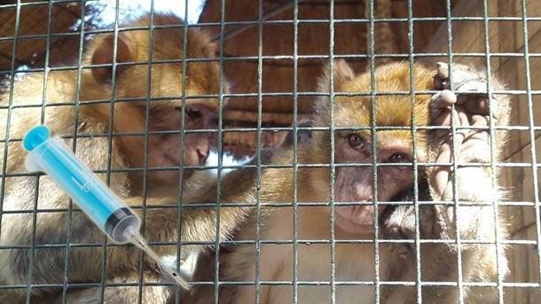 Lettre d'un singe, du parc Essaada, condamné à mort par les autorités tunisiennes