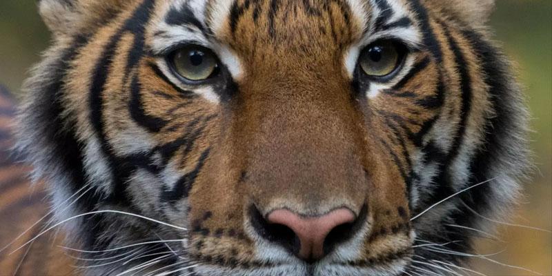 Covid-19: Un tigre d'un zoo de New York testé positif