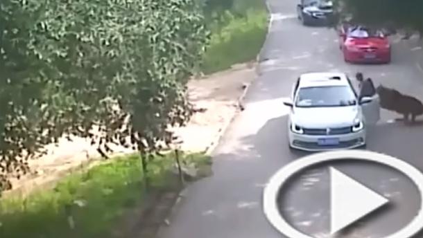 بالفيديو: نمر يخطف امرأة ويقتلها بعد خروجها من السيارة