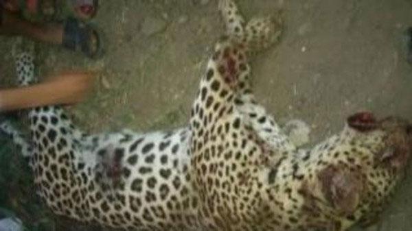 نمر يلتهم طفلة في قرية مصرية وقوات خاصة تقتله