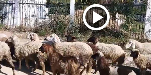 En vidéo-Campus d'El Manar : Quand les moutons vont à l'université