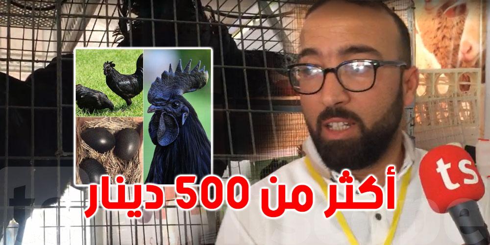 بالفيديو: اكتشف الدجاج الأعلى سعرا في تونس